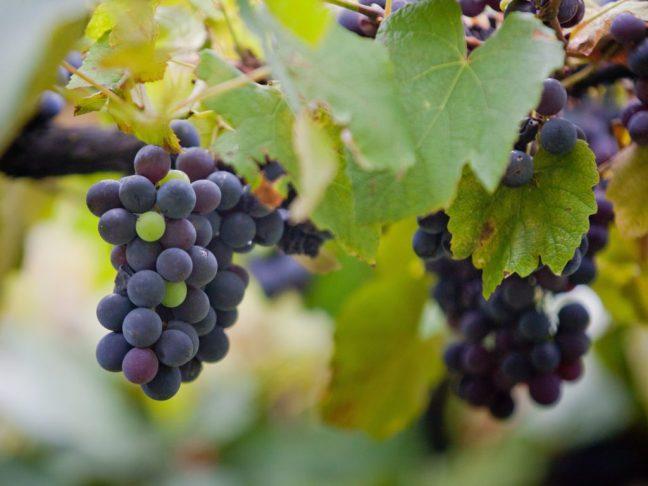Plantação de Uva