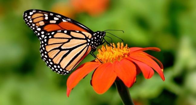 10-cosas-que-debes-saber-de-la-mariposa-monarca-770x417